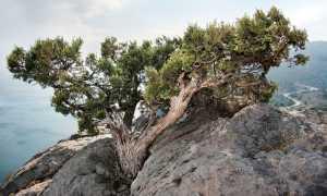 Можжевельник высокий: описание видов и выращивание