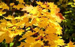 Клен желтый: описание, пересадка и размножение