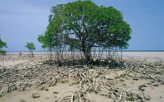 Мангровое дерево: особенности и виды