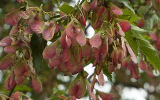 Клен татарский: выращивание и уход