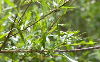 Корзиночная ива: описание и размножение