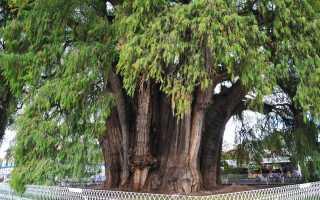 Дерево Туле — самый нестройный кипарис, история и интересные факты