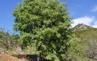 Каркас, или каменное дерево: описание, произрастание, применение