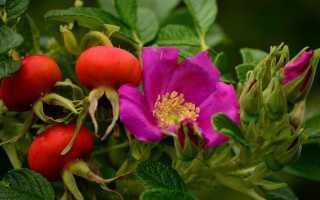 Почему не цветет шиповник