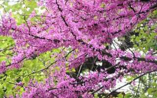 Удивительное растение багряник: описание и уход за растением