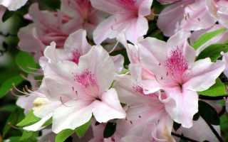 Азалия: капризная красавица в вашем доме