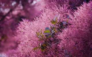 Кустарник скумпия: описание и виды растения