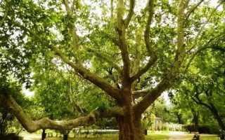 Дерево платан: описание и виды платана