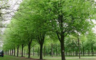 Клен серебристый: описание, выращивание и уход, применение