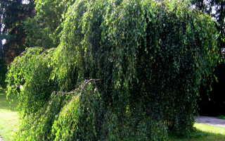 Плакучая береза – характеристики, выращивание и уход