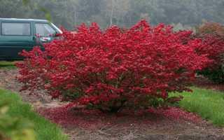 Почему у бересклета опадают листья