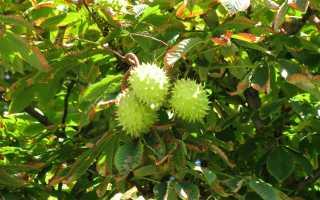 Декоративное и лечебное дерево — конский каштан
