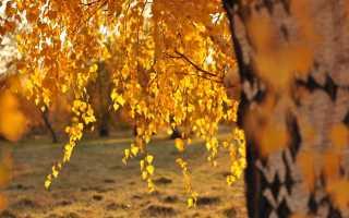 Почему желтеют листья березы