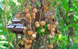 Бертолетия: выращивание и применение бразильских орехов