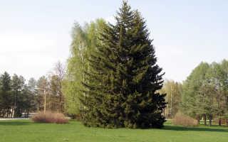 Ель сибирская: описание и уход за деревом
