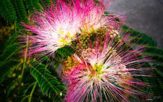 Альбиция: все о растении