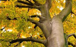 Лесной бук: описание, древесина бука применение