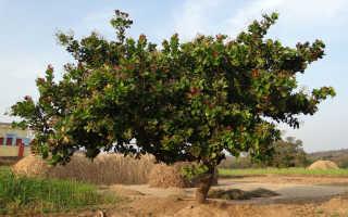 Кешью. Анакардиум (западный) или Индийский орех