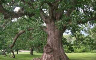 Белый дуб: описание, применение и полезные свойства