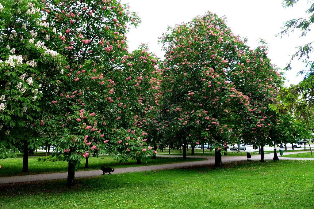 В парк за каштанами- 11 целебных свойств конского ореха - Экспресс газета