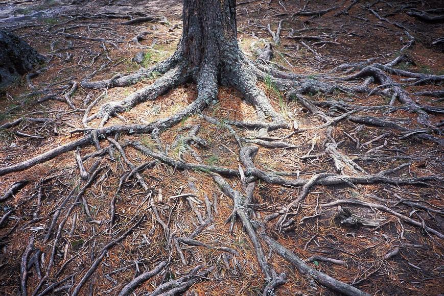 корни лиственницы
