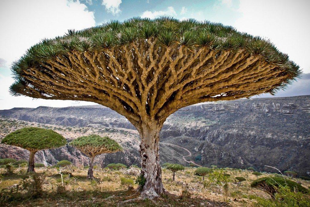 Драконово дерево описание