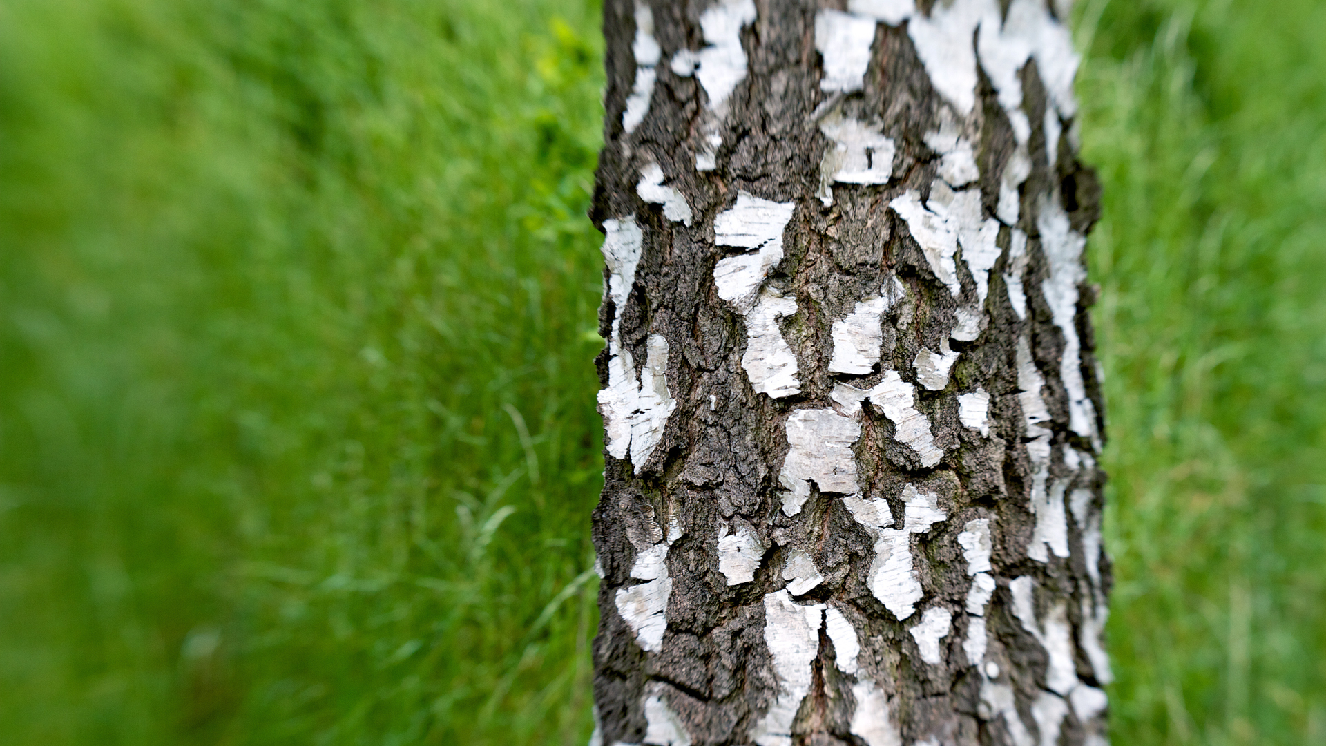 Дерево береза повислая (бородавчатая или пушистая)- фото и описание, характеристики плодов, листьев, бересты и ствола