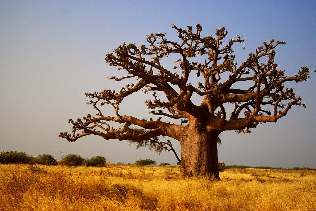 Картинка деревьев африки