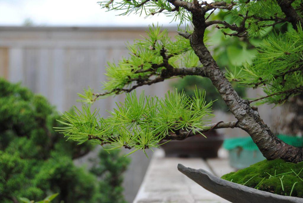 молодая ветка лиственницы