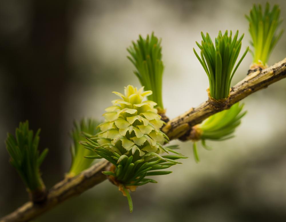 лиственница - начало шишки