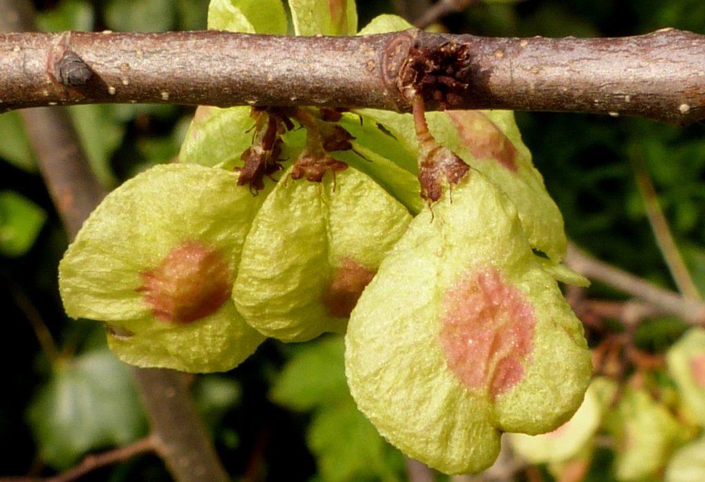 Плоды вяза