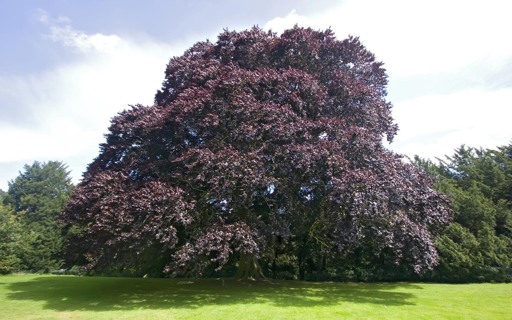 цвет дерева бук