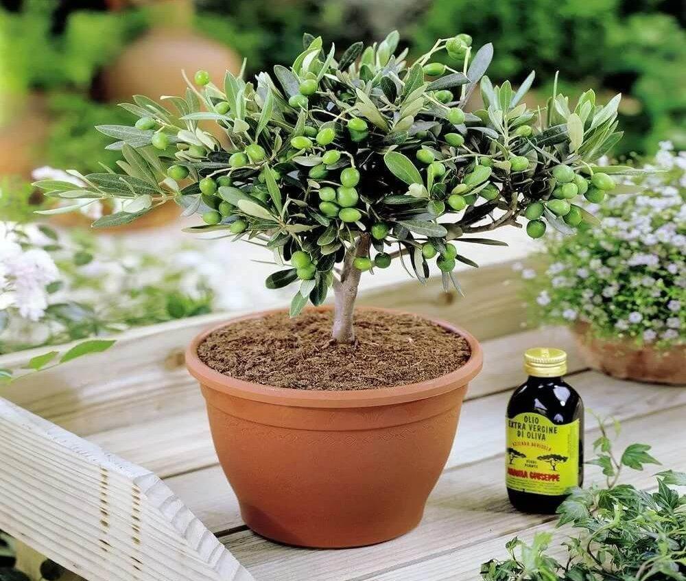 семена оливкового дерева