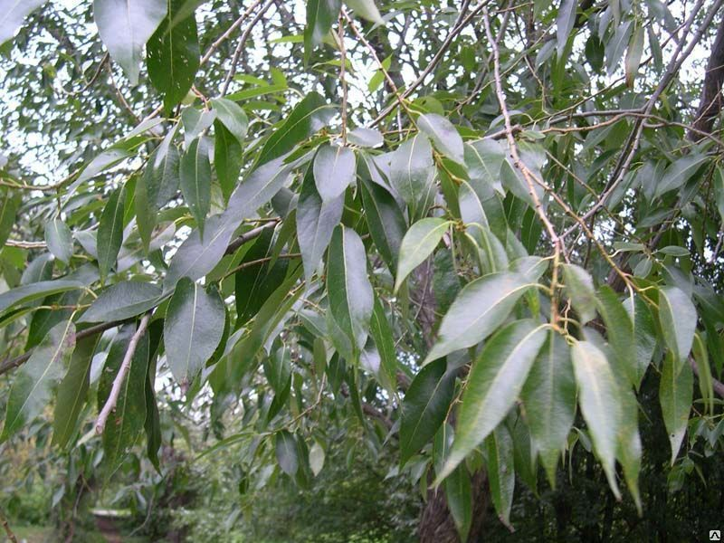 листья деревьев ива