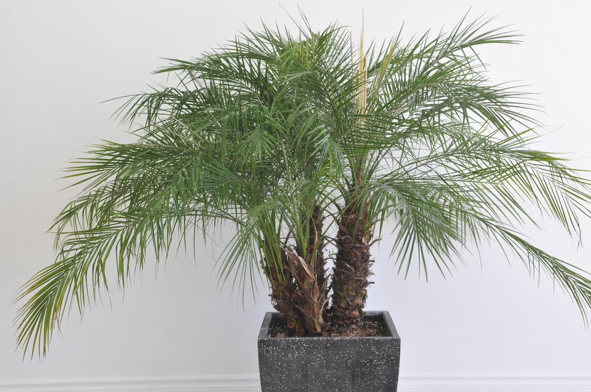 растение финиковая пальма