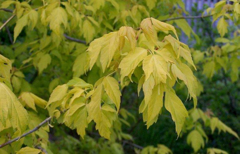 дерево клён ясенелистный