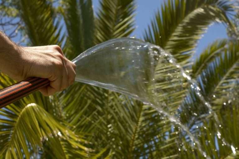 пересадка финиковой пальмы