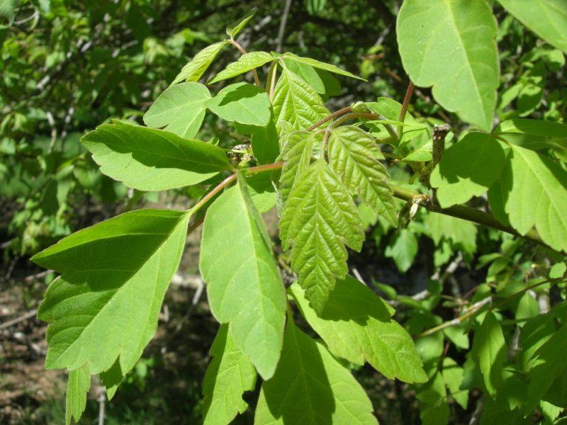 древесина клёна ясенелистного