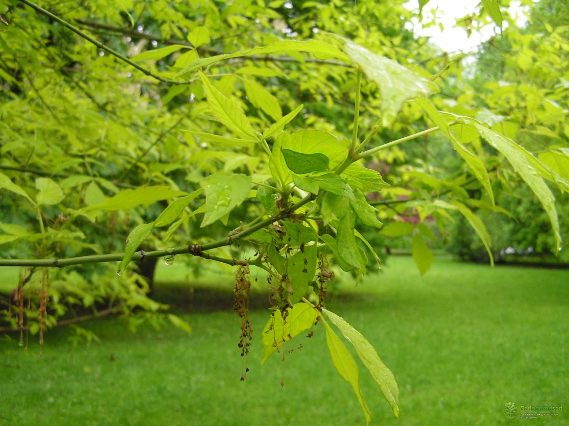 клён ясенелистный лист