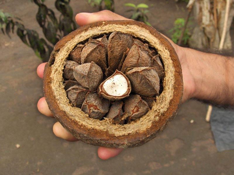 бразильский орех выращивание