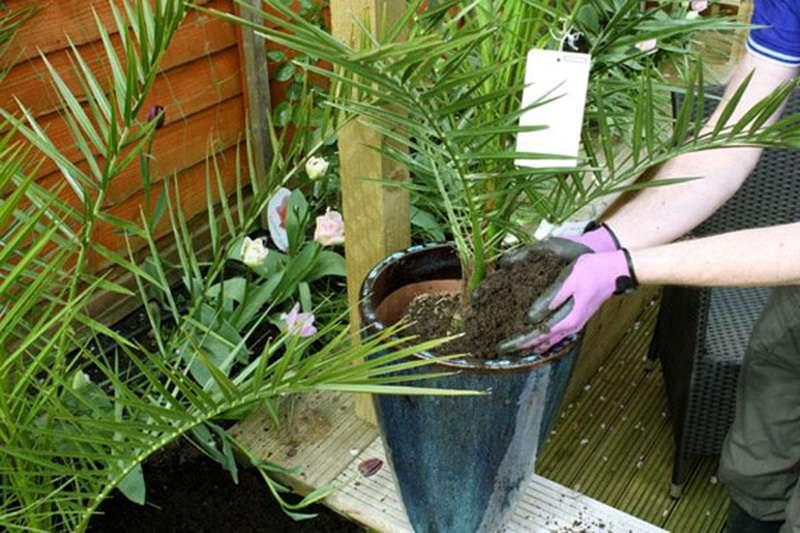 финиковые пальмы полив