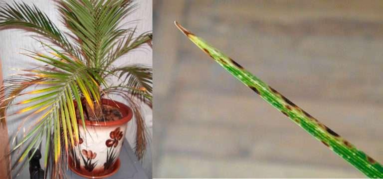 финиковая пальма росток