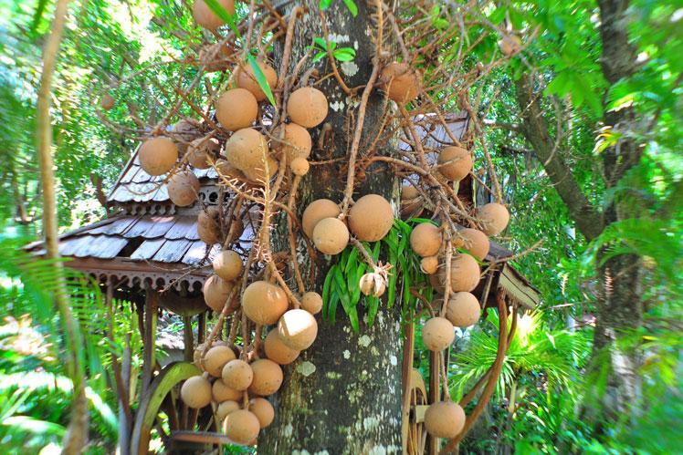 бразильское дерево