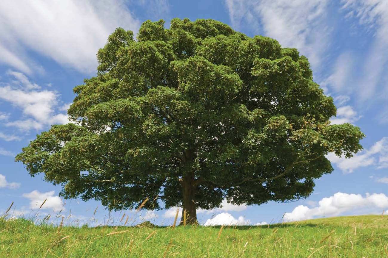 характеристика дерева бук