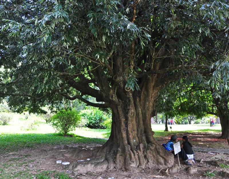 парротия персидская из семян