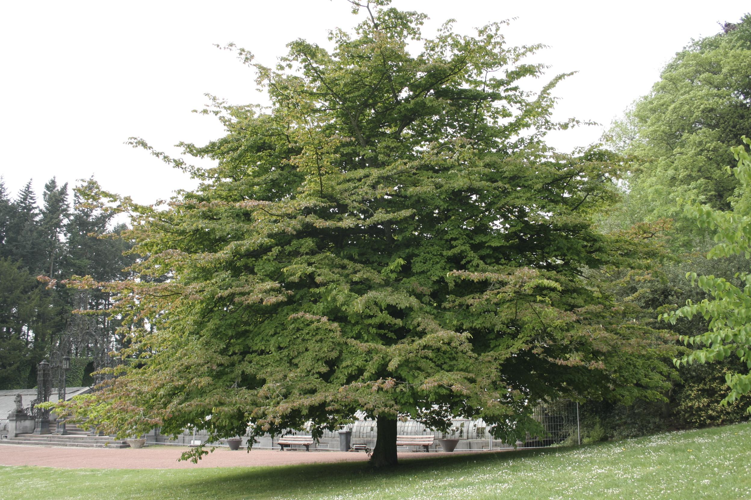 железное дерево парротия