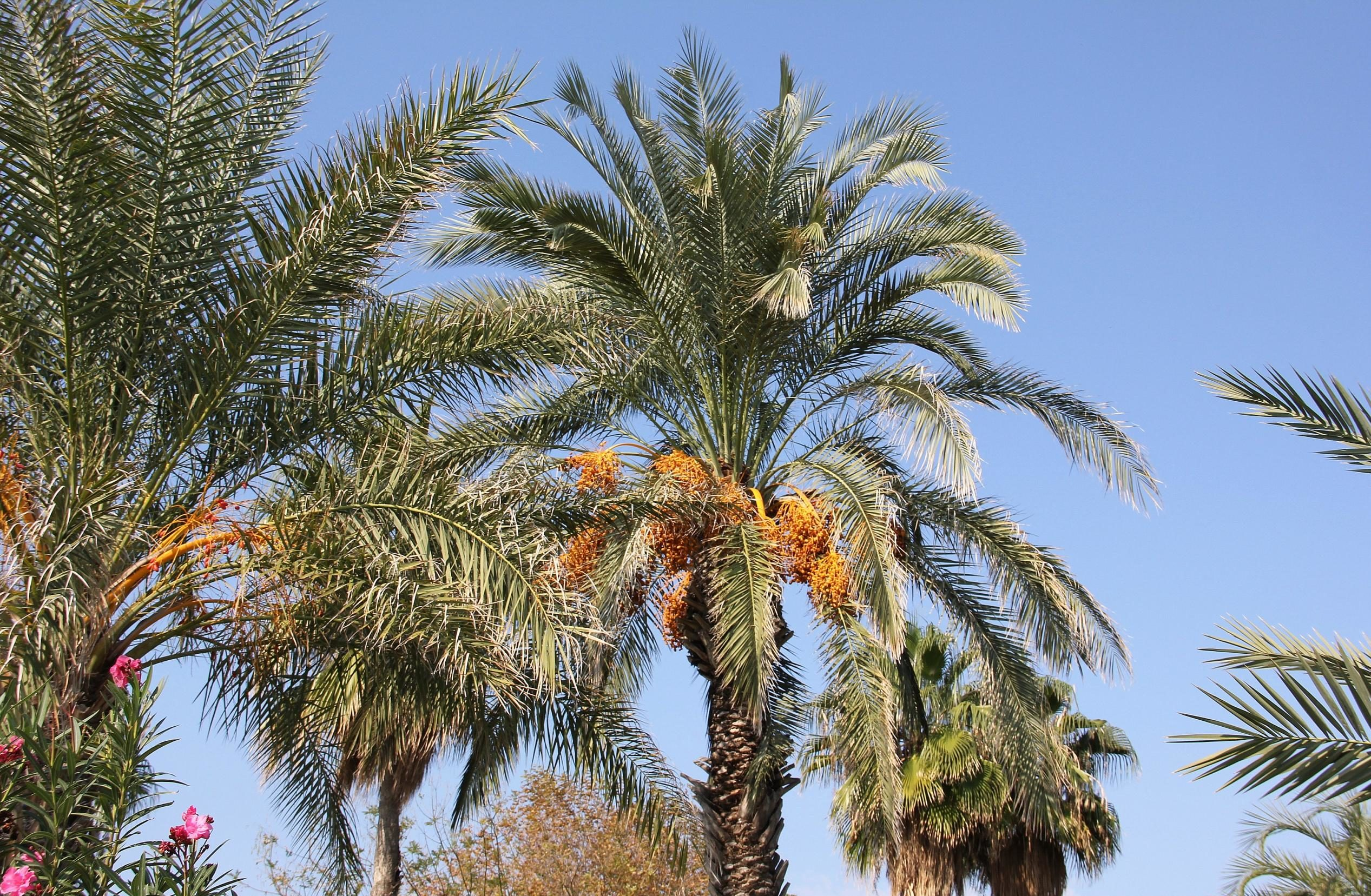 пальма финик канарский