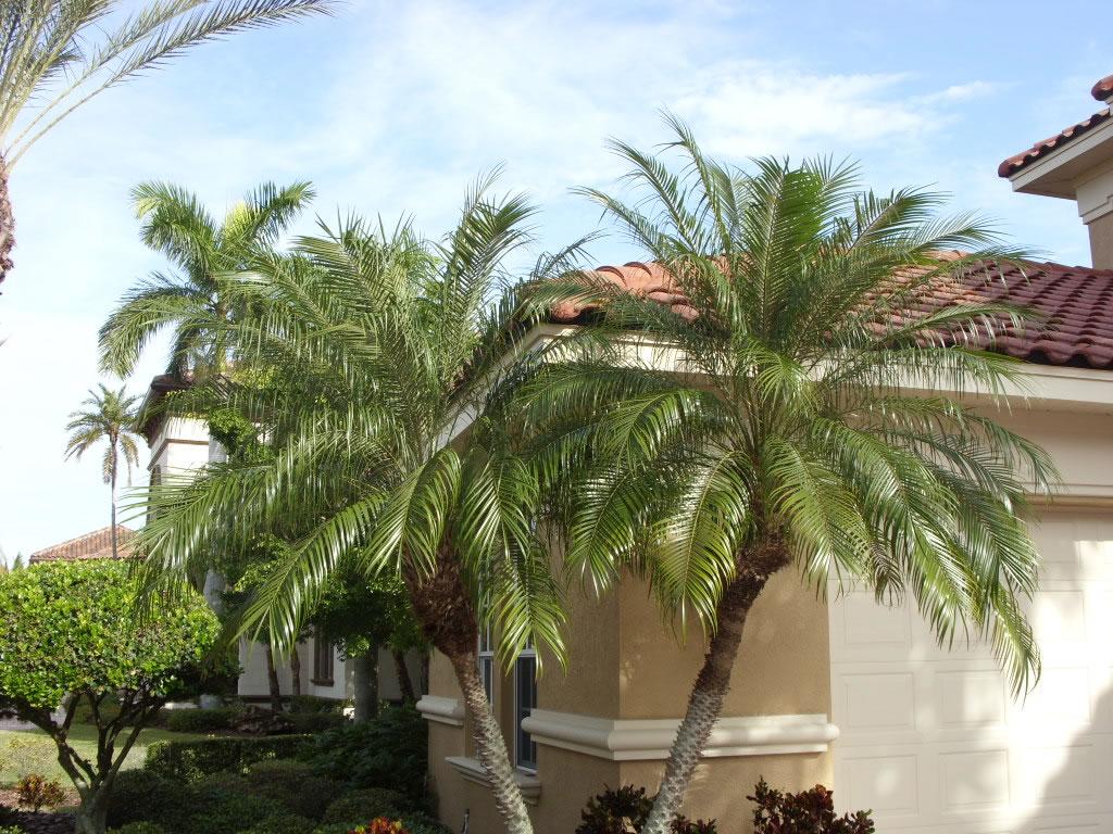 пальма комнатный