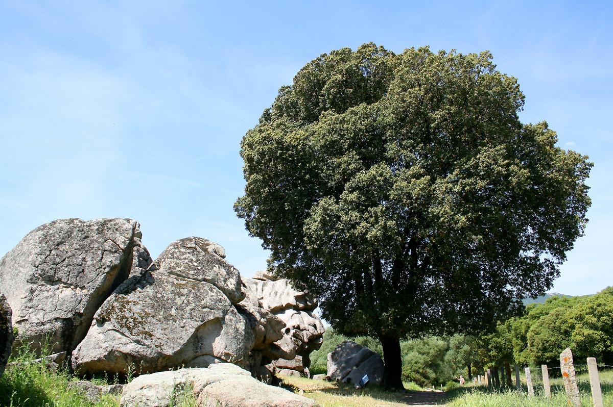 дерево дуб каменный