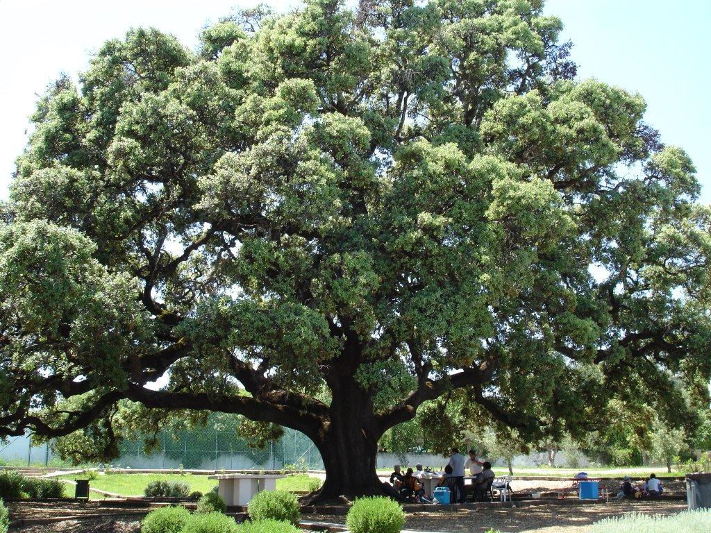 каменный дуб
